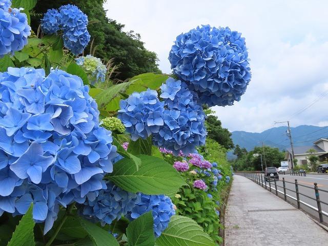 咲き誇るアジサイの花(撮影:6月11日)_e0321325_15061639.jpg