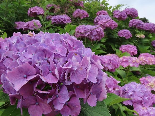 咲き誇るアジサイの花(撮影:6月11日)_e0321325_15065228.jpg