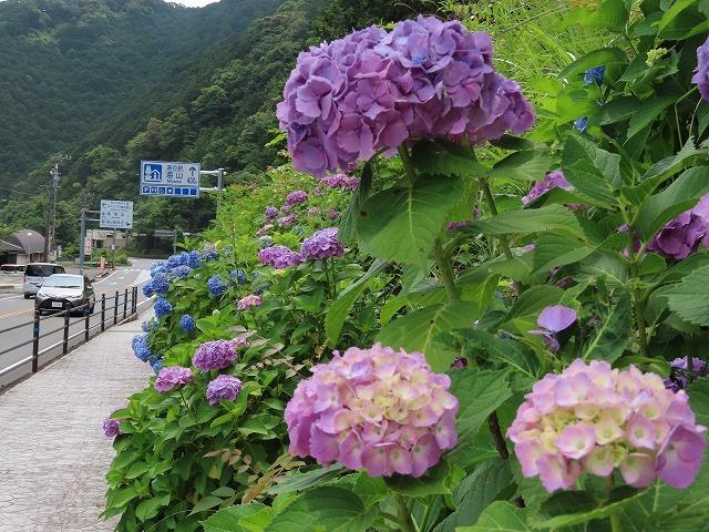 咲き誇るアジサイの花(撮影:6月11日)_e0321325_15070418.jpg