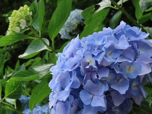 咲き誇るアジサイの花(撮影:6月11日)_e0321325_15071733.jpg