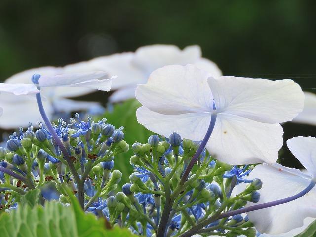 咲き誇るアジサイの花(撮影:6月11日)_e0321325_15073292.jpg