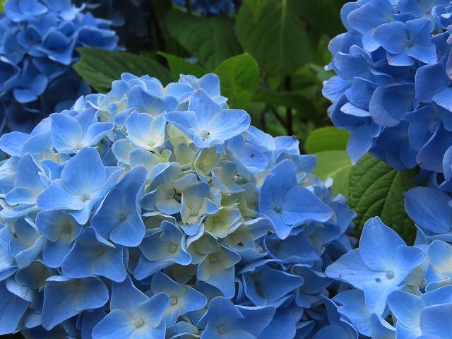 咲き誇るアジサイの花(撮影:6月11日)_e0321325_15074472.jpg