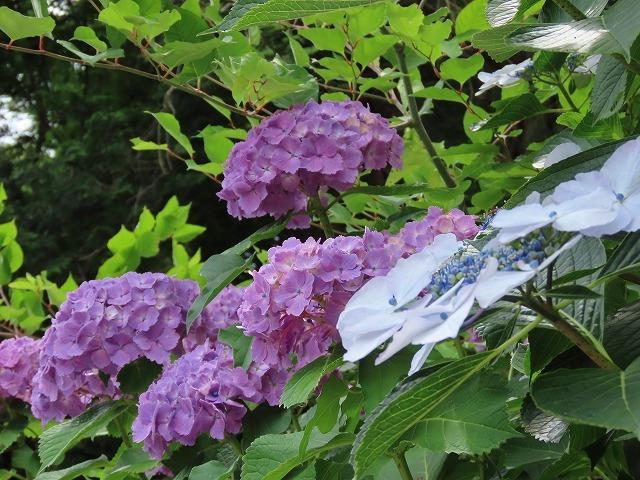 咲き誇るアジサイの花(撮影:6月11日)_e0321325_15075928.jpg