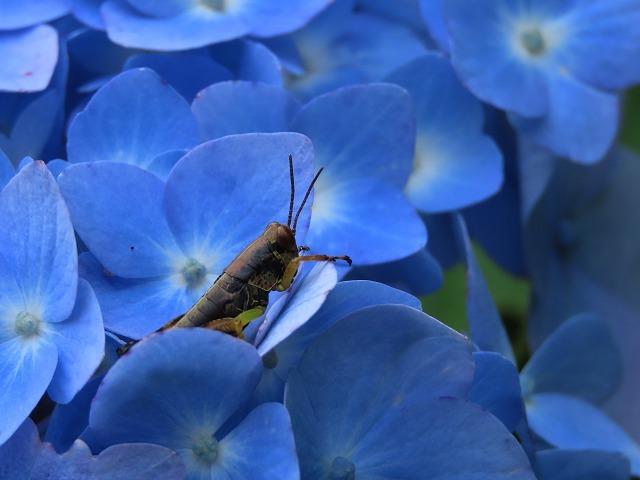 咲き誇るアジサイの花(撮影:6月11日)_e0321325_15081223.jpg