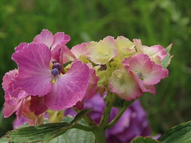 咲き誇るアジサイの花(撮影:6月11日)_e0321325_15082544.jpg