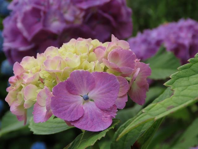 咲き誇るアジサイの花(撮影:6月11日)_e0321325_15084711.jpg