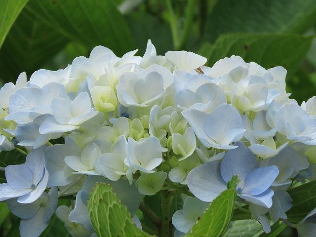 咲き誇るアジサイの花(撮影:6月11日)_e0321325_15085945.jpg
