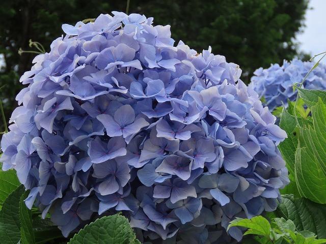 咲き誇るアジサイの花(撮影:6月11日)_e0321325_15091419.jpg