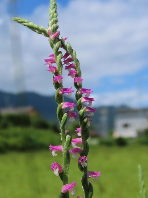 矢浜公園に咲く花(撮影:6月14日_e0321325_15222096.jpg