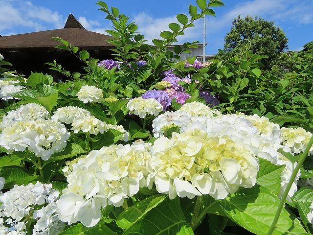 矢浜公園に咲く花(撮影:6月14日_e0321325_15241577.jpg