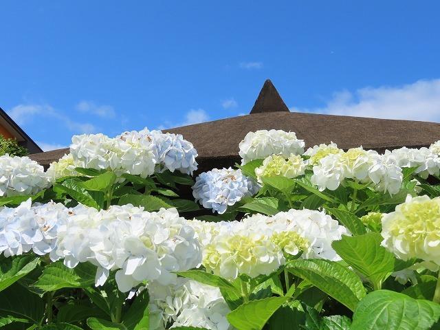 矢浜公園に咲く花(撮影:6月14日_e0321325_15244368.jpg