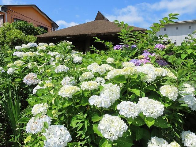 矢浜公園に咲く花(撮影:6月14日_e0321325_15250001.jpg