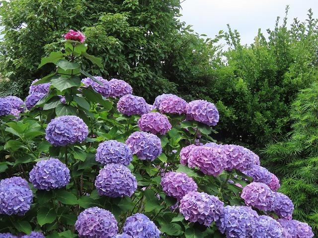 矢浜公園に咲く花(撮影:6月14日_e0321325_15251814.jpg