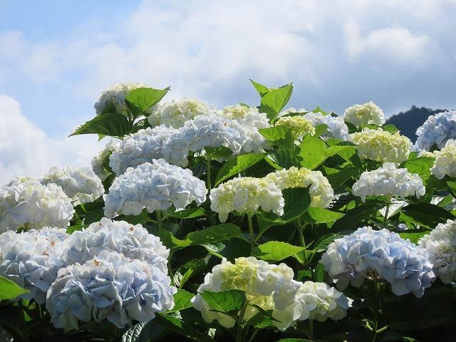 矢浜公園に咲く花(撮影:6月14日_e0321325_15253439.jpg