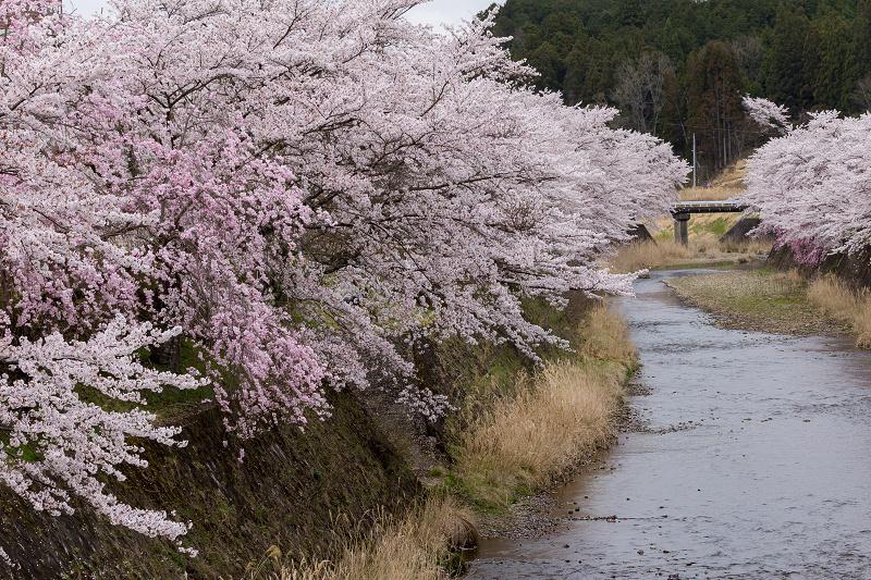 2021桜咲く京都  桜咲く弓削川_f0155048_22322191.jpg