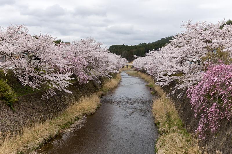 2021桜咲く京都  桜咲く弓削川_f0155048_22330041.jpg