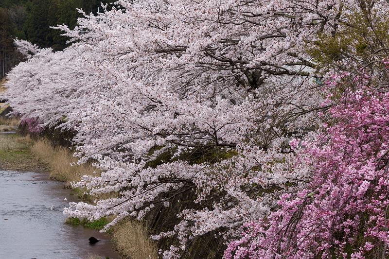 2021桜咲く京都  桜咲く弓削川_f0155048_22335293.jpg