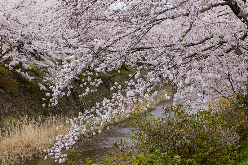 2021桜咲く京都  桜咲く弓削川_f0155048_22341075.jpg