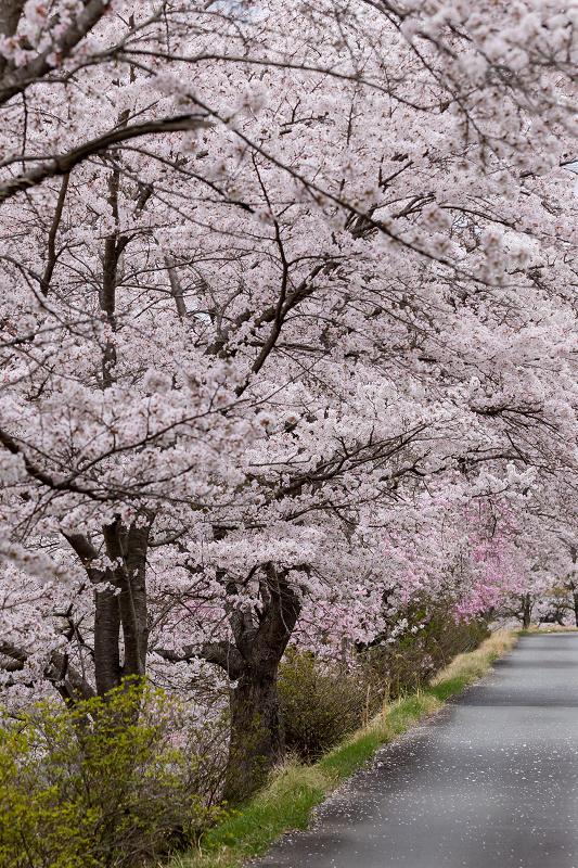 2021桜咲く京都  桜咲く弓削川_f0155048_22341666.jpg