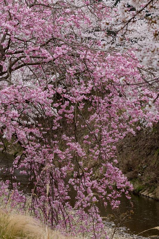 2021桜咲く京都  桜咲く弓削川_f0155048_22342546.jpg