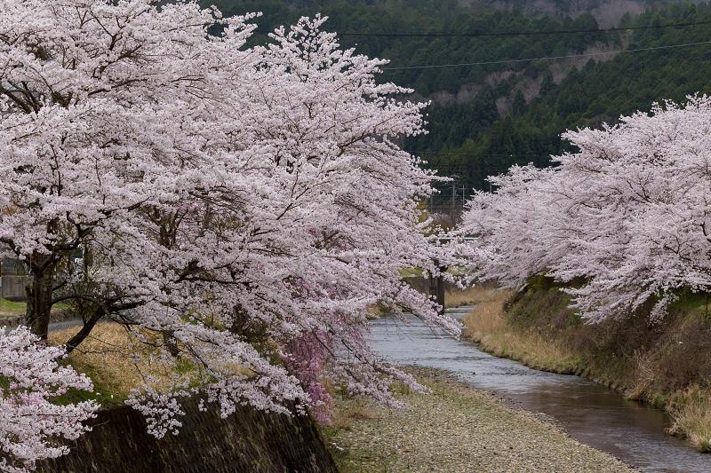 2021桜咲く京都  桜咲く弓削川_f0155048_22343467.jpg