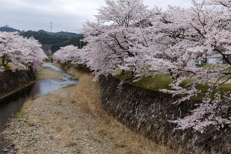 2021桜咲く京都  桜咲く弓削川_f0155048_22344916.jpg