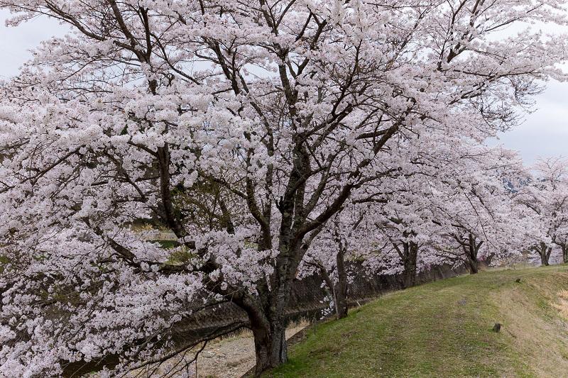 2021桜咲く京都  桜咲く弓削川_f0155048_22345570.jpg