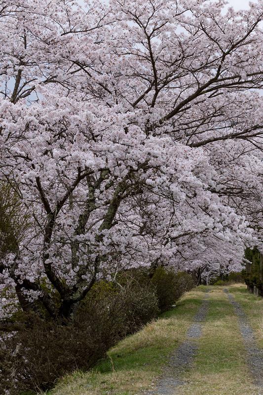 2021桜咲く京都  桜咲く弓削川_f0155048_22350355.jpg