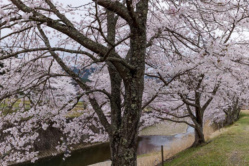2021桜咲く京都  桜咲く弓削川_f0155048_22350916.jpg