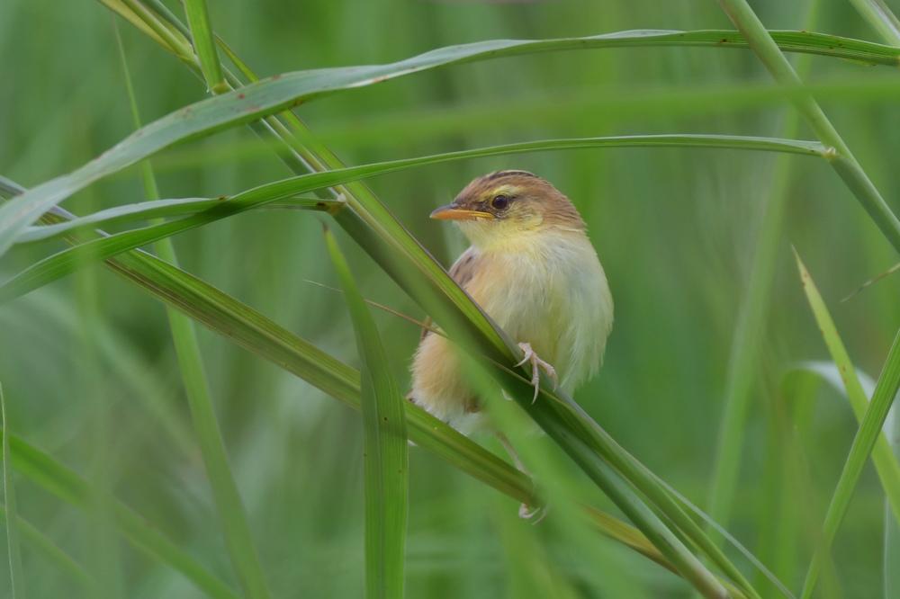 可愛い幼鳥.....セッカ_f0400360_22512726.jpg