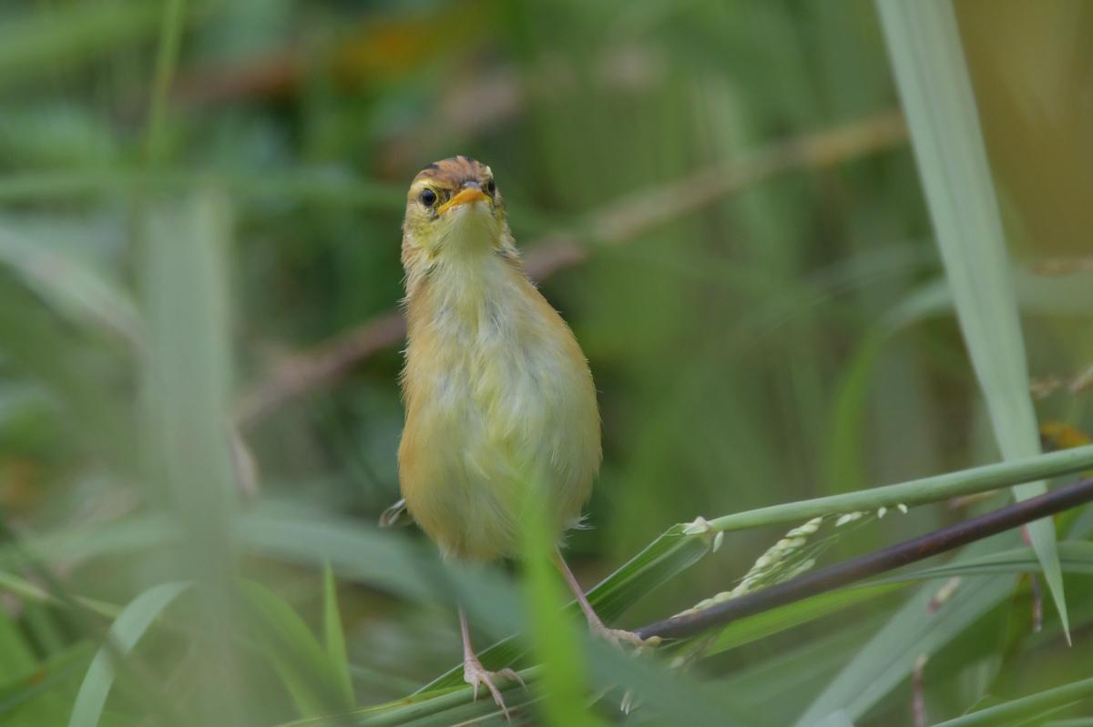 可愛い幼鳥.....セッカ_f0400360_22513570.jpg