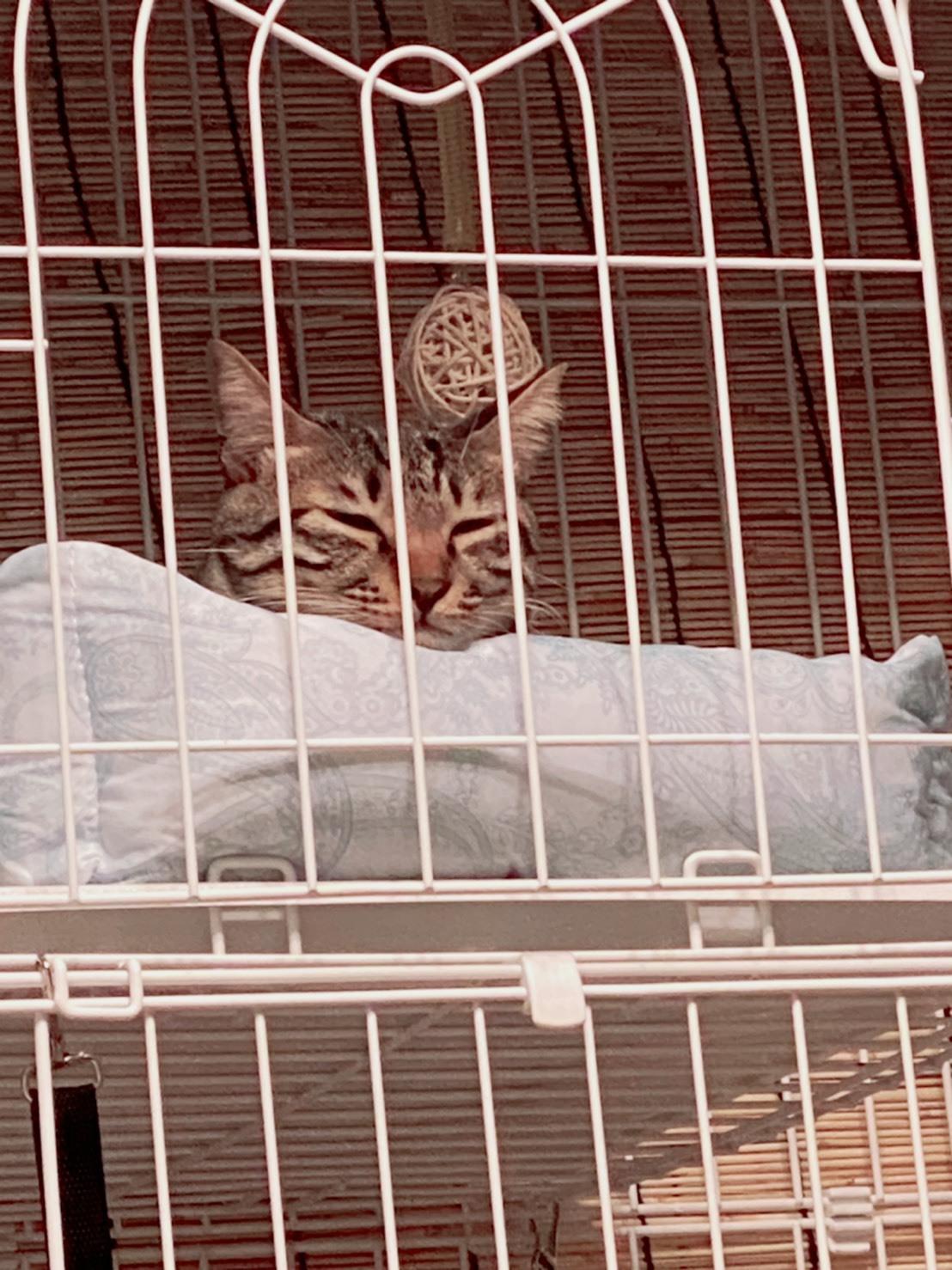 【里親決定の猫】両国の風ちゃん!_a0170297_12260167.jpeg