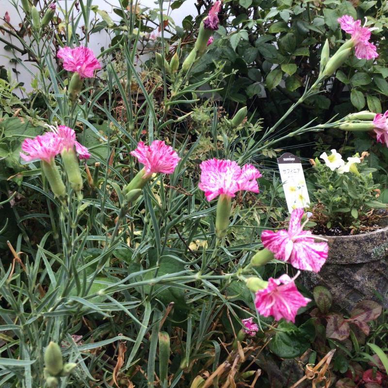 頂いたセミの写真と咲いているバラ_c0404712_23295513.jpg