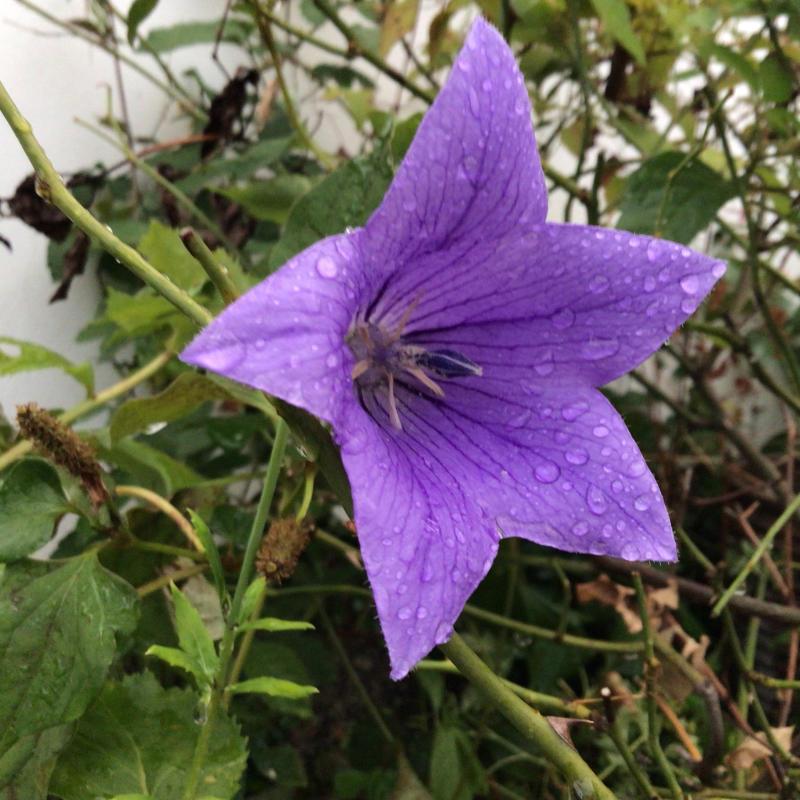 頂いたセミの写真と咲いているバラ_c0404712_23295786.jpg