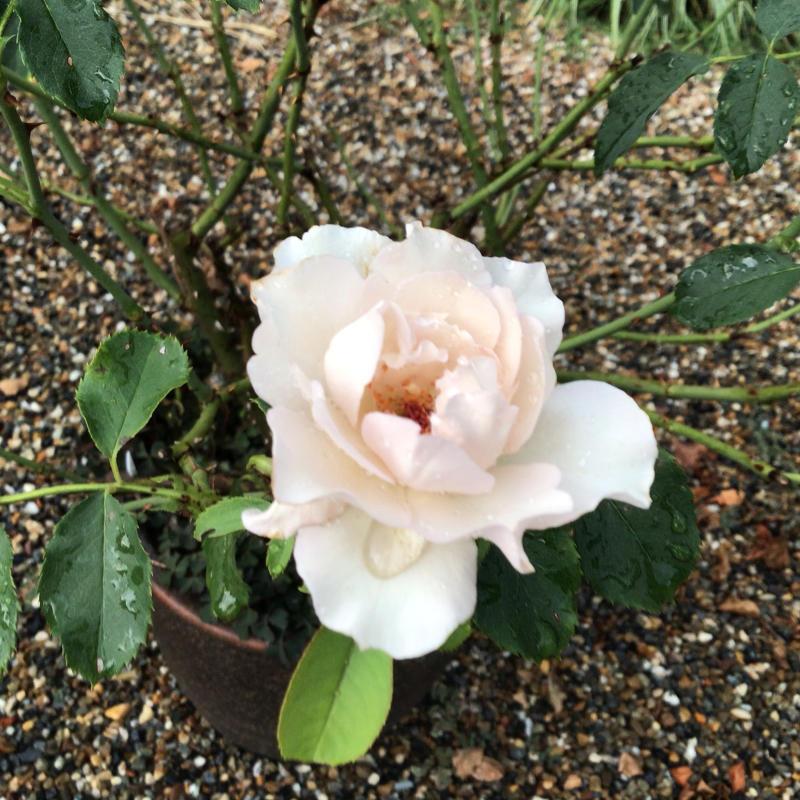 頂いたセミの写真と咲いているバラ_c0404712_23295844.jpg