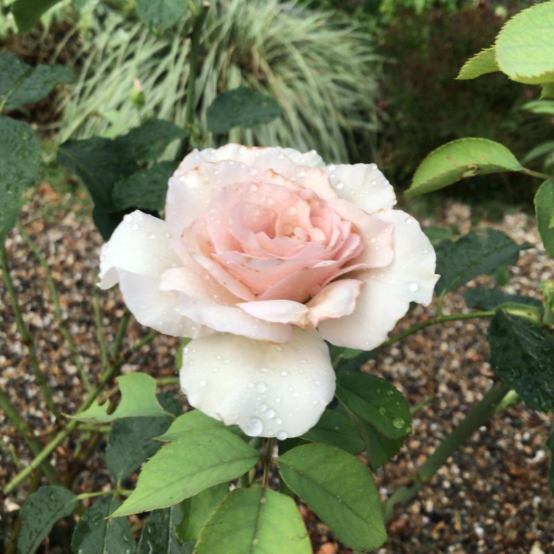 頂いたセミの写真と咲いているバラ_c0404712_23313819.jpg