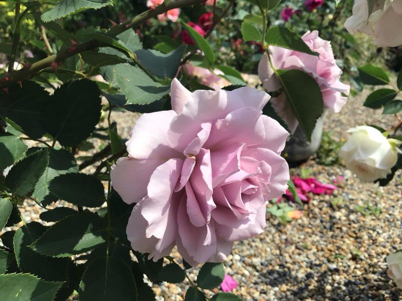 頂いたセミの写真と咲いているバラ_c0404712_23314471.jpg