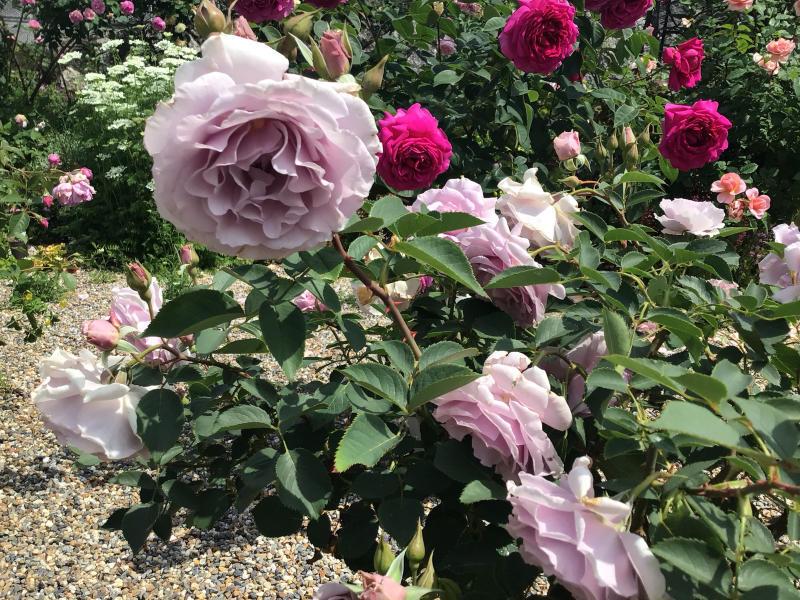 頂いたセミの写真と咲いているバラ_c0404712_23322786.jpg