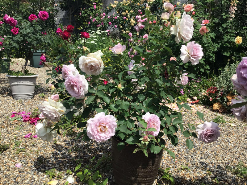 頂いたセミの写真と咲いているバラ_c0404712_23323016.jpg