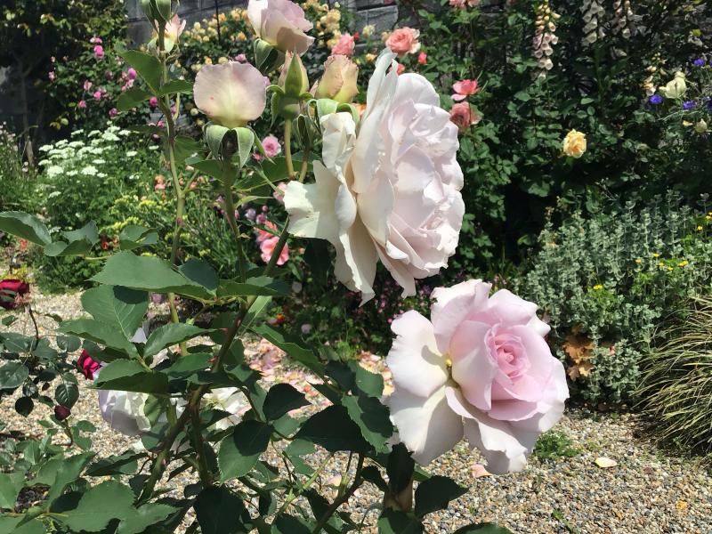 頂いたセミの写真と咲いているバラ_c0404712_23323228.jpg