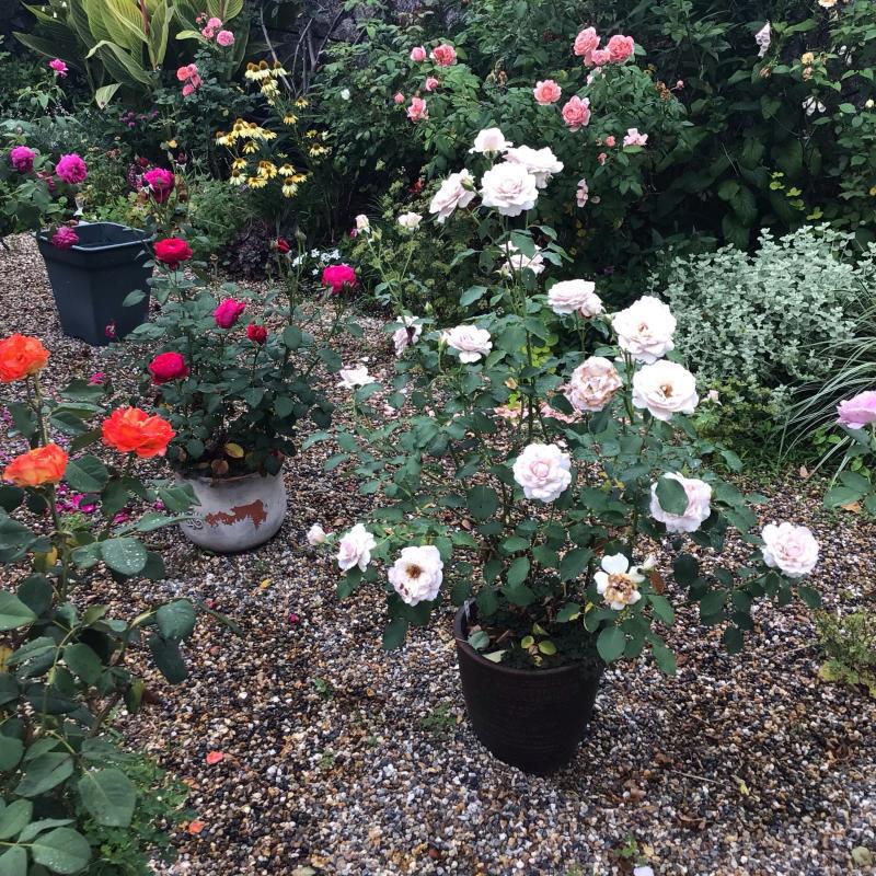 頂いたセミの写真と咲いているバラ_c0404712_23334816.jpg