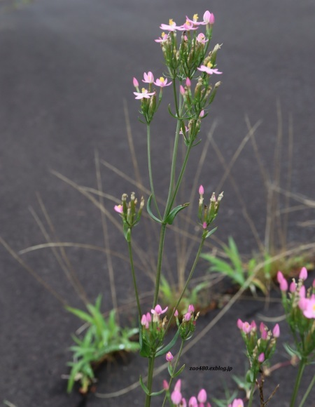 ルリボシカミキリと庭の花_a0304423_16545421.jpg