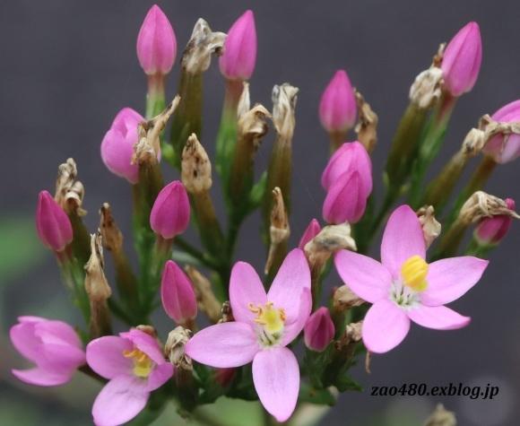 ルリボシカミキリと庭の花_a0304423_16551691.jpg