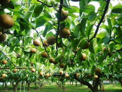 熊本梨 令和3年度の初出荷!まずはこだわりの樹上完熟梨『幸水』を朝採り即日発送でお届けします!_a0254656_17461096.jpg