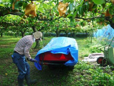 熊本梨 令和3年度の初出荷!まずはこだわりの樹上完熟梨『幸水』を朝採り即日発送でお届けします!_a0254656_17470308.jpg