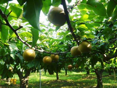 熊本梨 令和3年度の初出荷!まずはこだわりの樹上完熟梨『幸水』を朝採り即日発送でお届けします!_a0254656_17482922.jpg