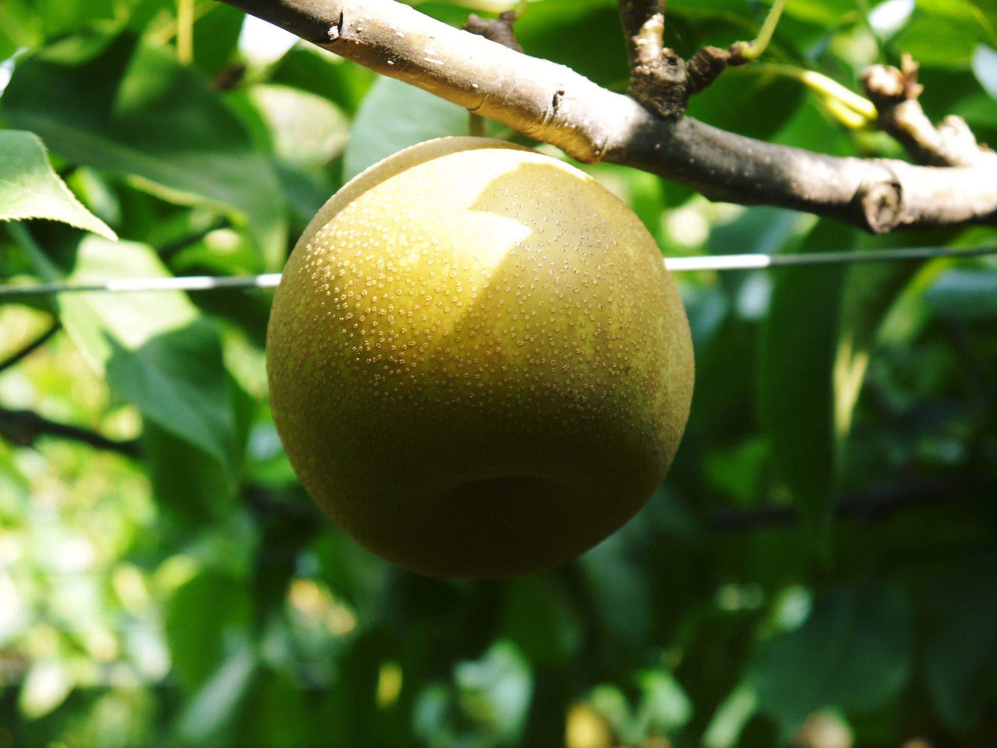 熊本梨 令和3年度の初出荷!まずはこだわりの樹上完熟梨『幸水』を朝採り即日発送でお届けします!_a0254656_17501134.jpg