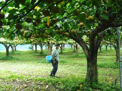 熊本梨 令和3年度の初出荷!まずはこだわりの樹上完熟梨『幸水』を朝採り即日発送でお届けします!_a0254656_17530683.jpg