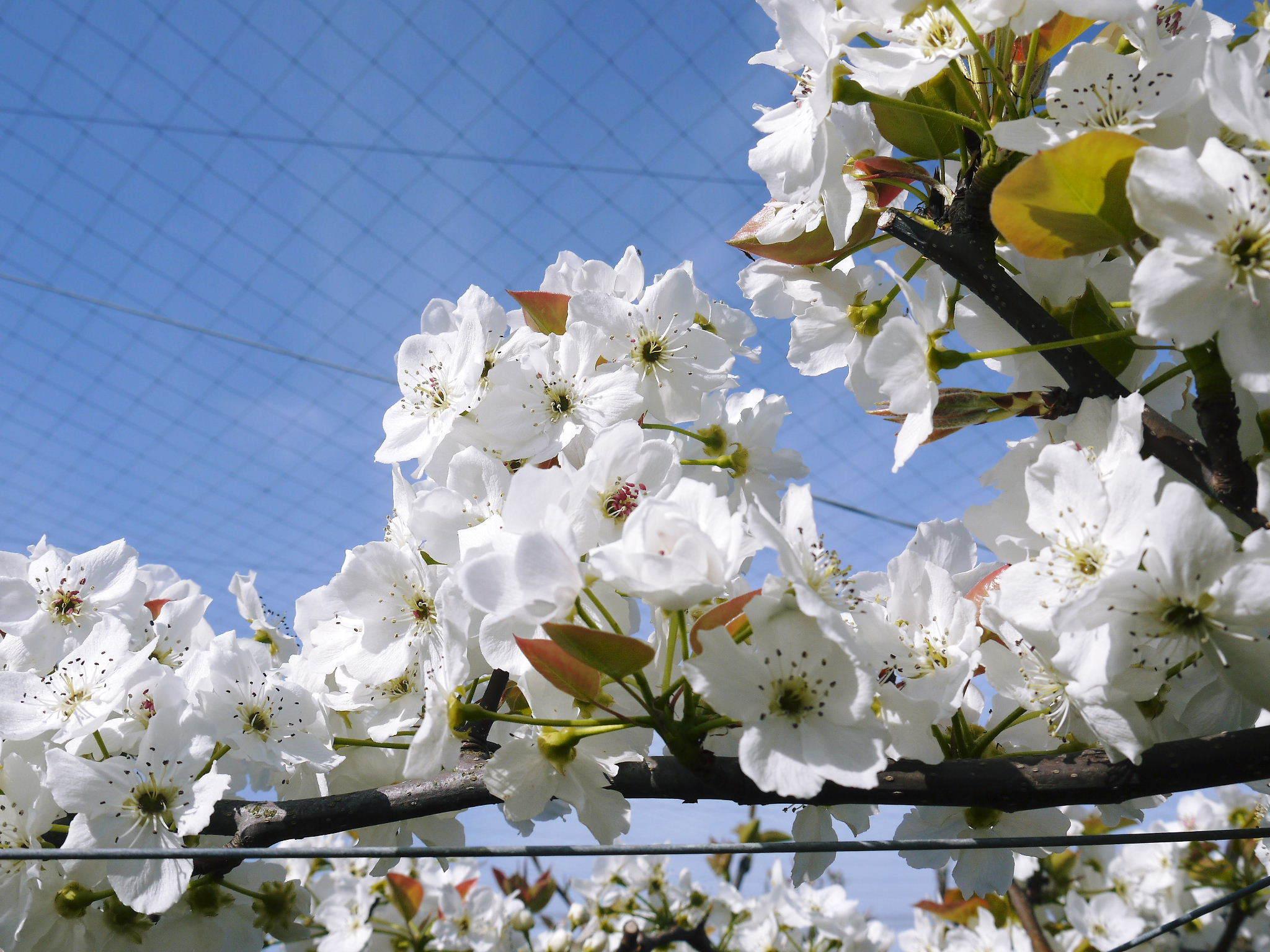 熊本梨 令和3年度の初出荷!まずはこだわりの樹上完熟梨『幸水』を朝採り即日発送でお届けします!_a0254656_17571994.jpg