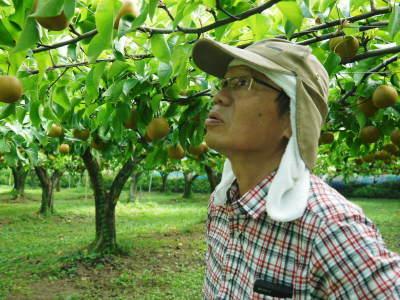 熊本梨 令和3年度の初出荷!まずはこだわりの樹上完熟梨『幸水』を朝採り即日発送でお届けします!_a0254656_18104396.jpg